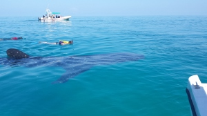 one of our boat swimming with the whale shark
